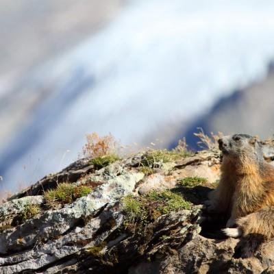 La marmotte et le glacier