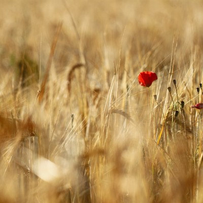 Rouge et or (Coquelicot)