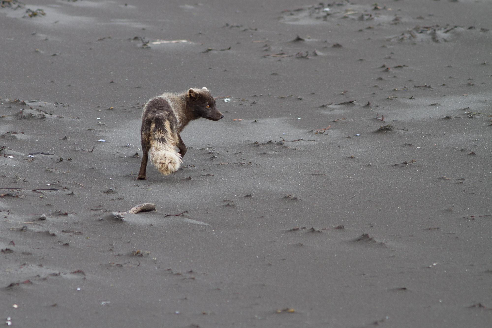 Mme renarde à la plage