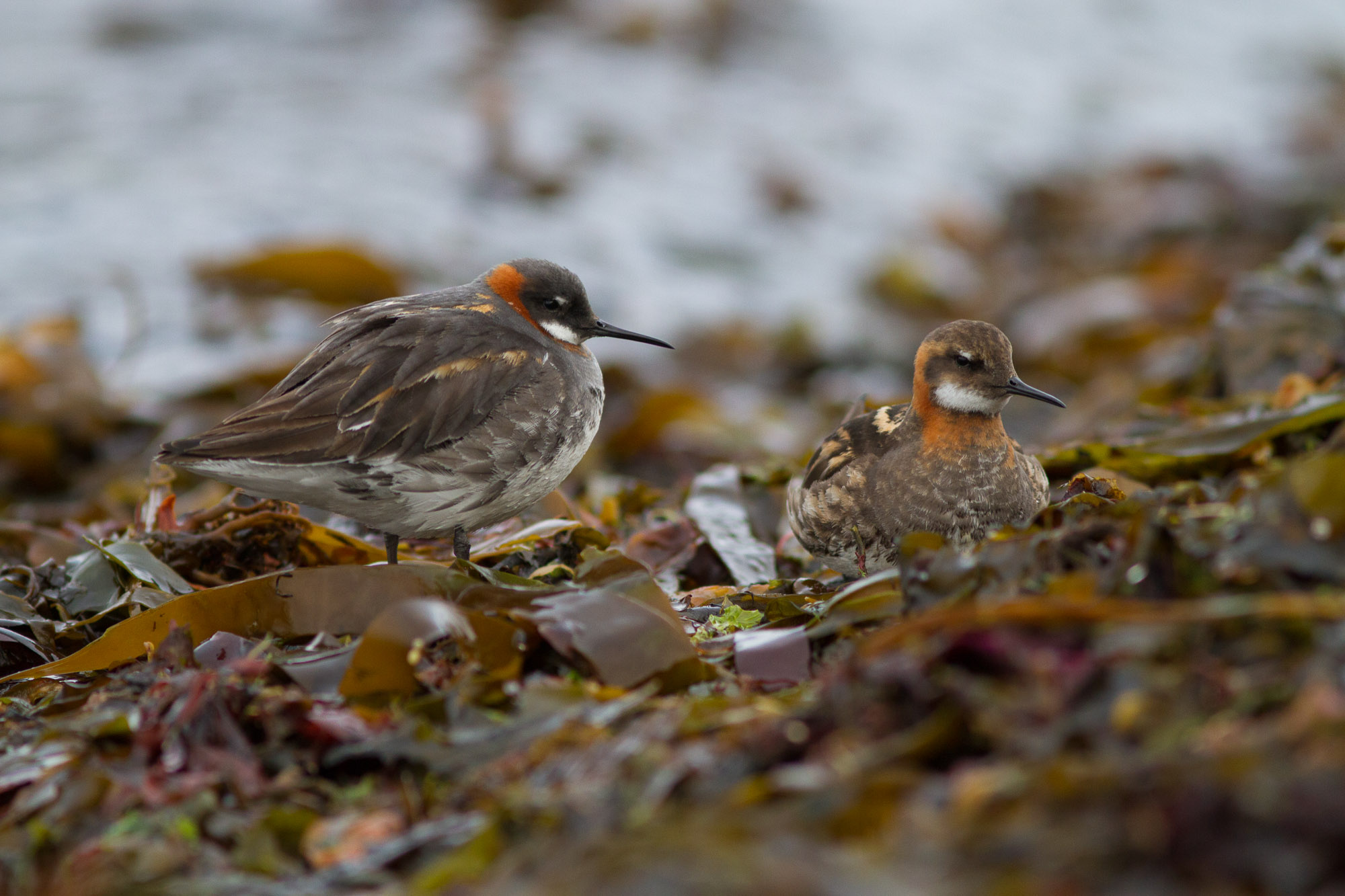 Phalaropes (1)