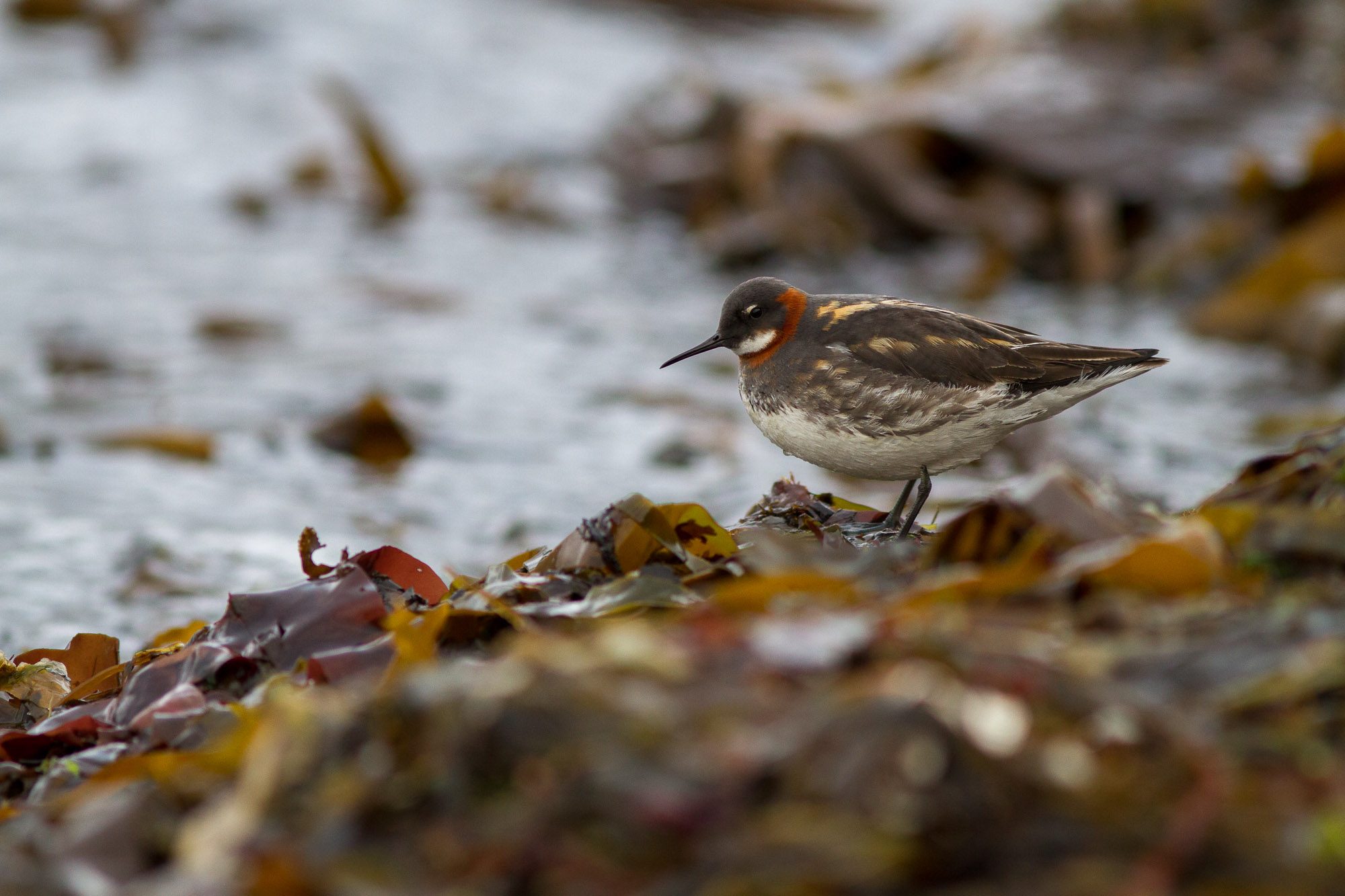 Phalaropes (2)