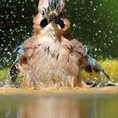 Geai au bain